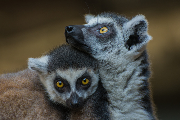 Ring-Tailed-Lemurs